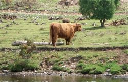 Highland cow by the roadside